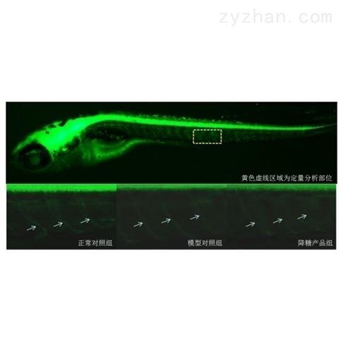 利用斑马鱼模型评价糖尿病神经保护功效